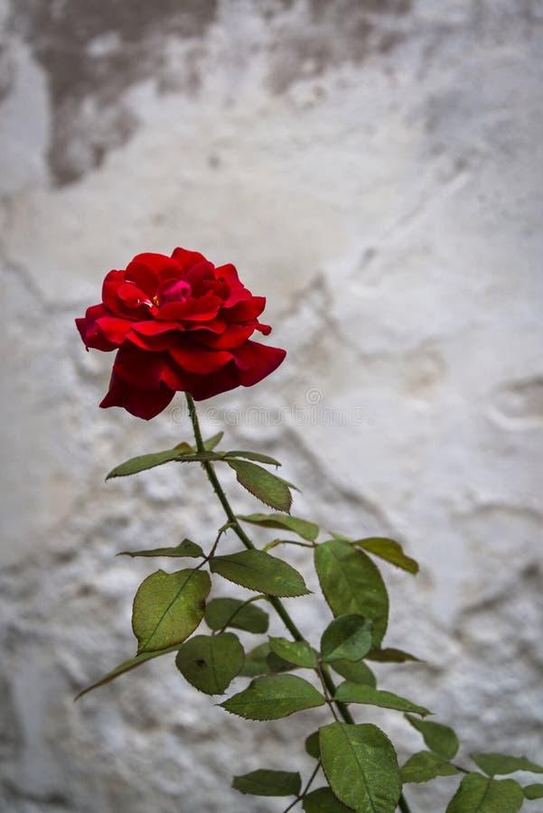 Enige rood nam bloem toe royalty-vrije stock foto's