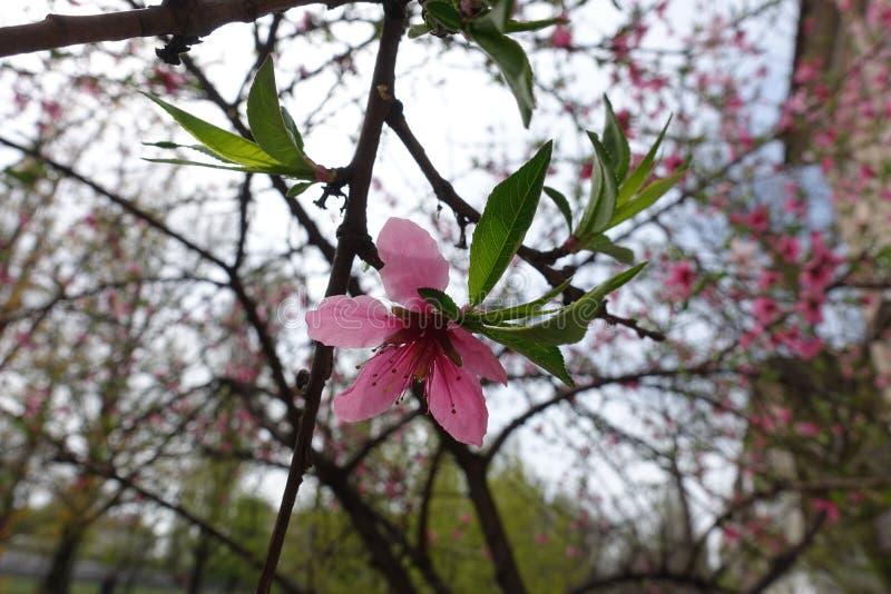 Enige roze bloem en groene bladeren van perzik in de lente stock afbeeldingen