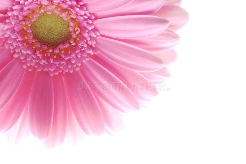 Enige roze gerbera royalty-vrije stock fotografie