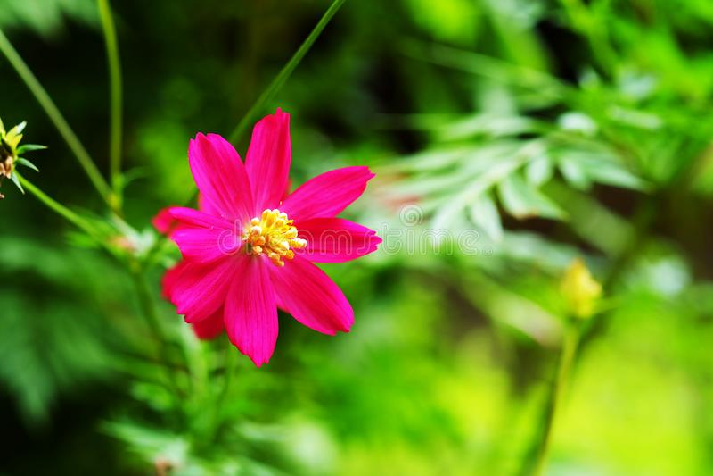 Enige roze kosmosbloem in daglicht met groene tuinachtergrond royalty-vrije stock fotografie