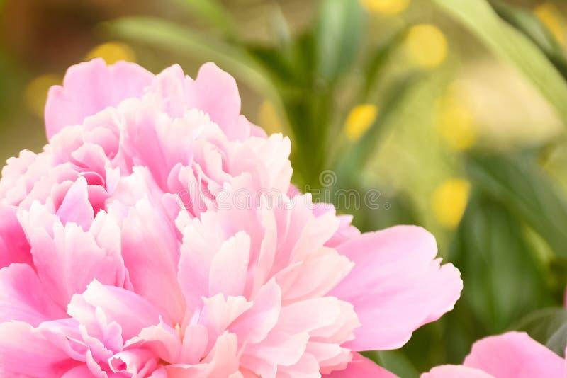 Enige Roze Pioenbloem met Zachte Gele en Groene Achtergrond royalty-vrije stock afbeelding