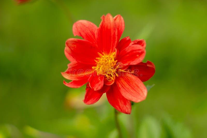 Enige schoonheids natuurlijke rode bloem van dahlia stock afbeeldingen