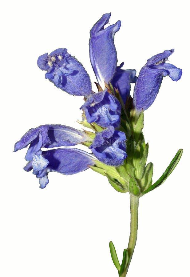 Enige Stam van Heldere lavendel-Blauwe Bloemen stock afbeelding
