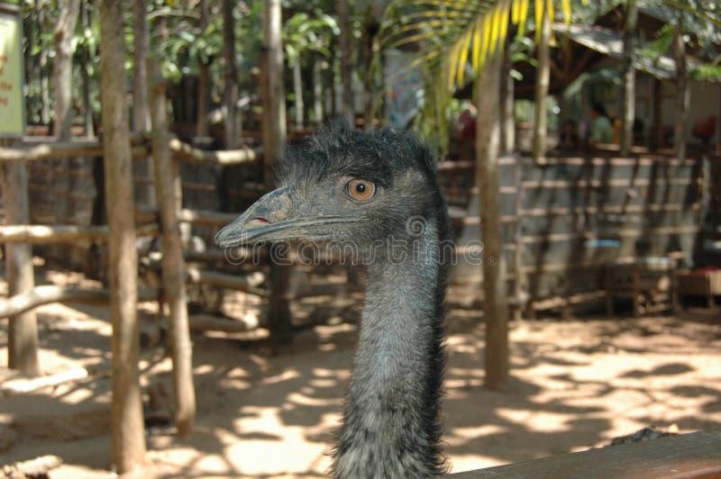 Enige Struisvogel Hoofd Dichte Omhooggaand stock afbeelding