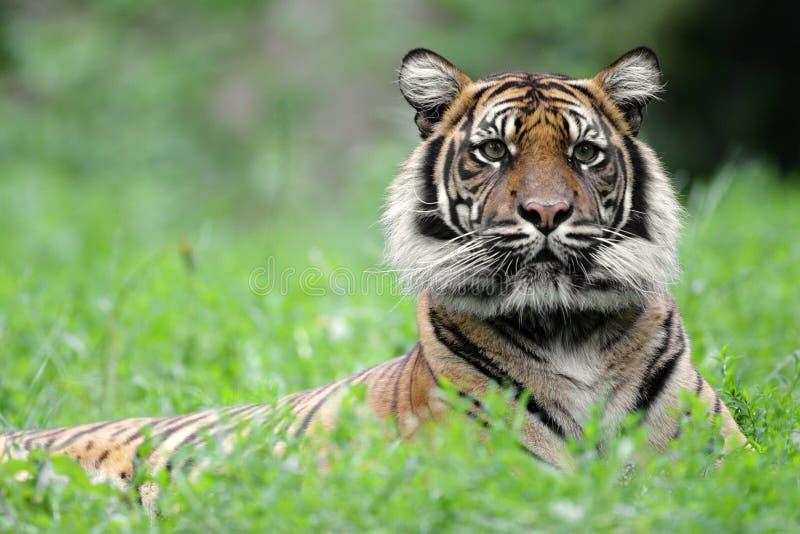 Enige Sumatran-Tijger in zoölogische tuin stock afbeelding
