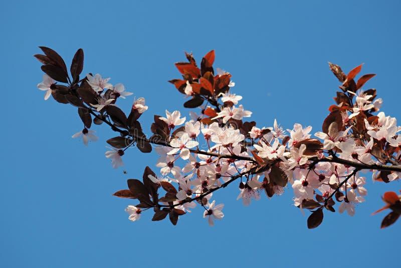 Enige tak van tot bloei komende kersenpruim tegen de blauwe hemel stock fotografie
