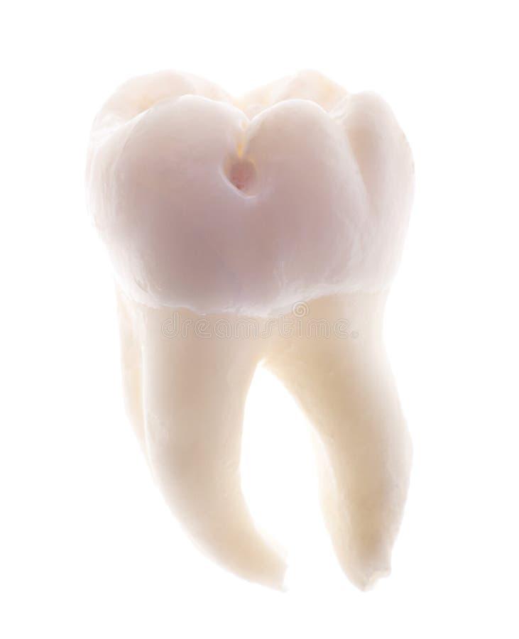 Enige tand die op wit wordt geïsoleerdk stock foto