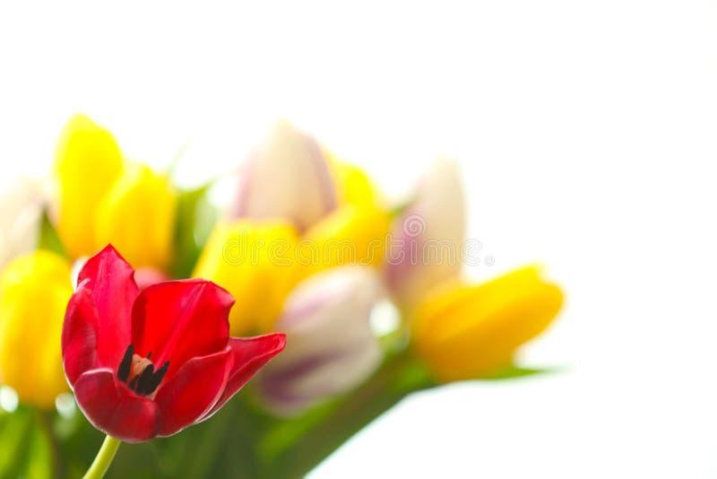 Enige tulp tegen boeket van tulpen stock afbeeldingen