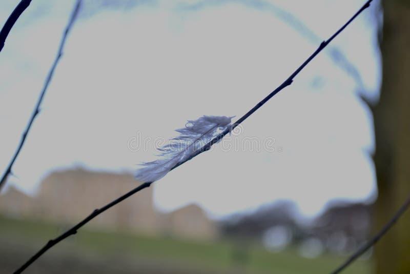 Enige veer die zich aan dunne tak vastklampen royalty-vrije stock afbeelding