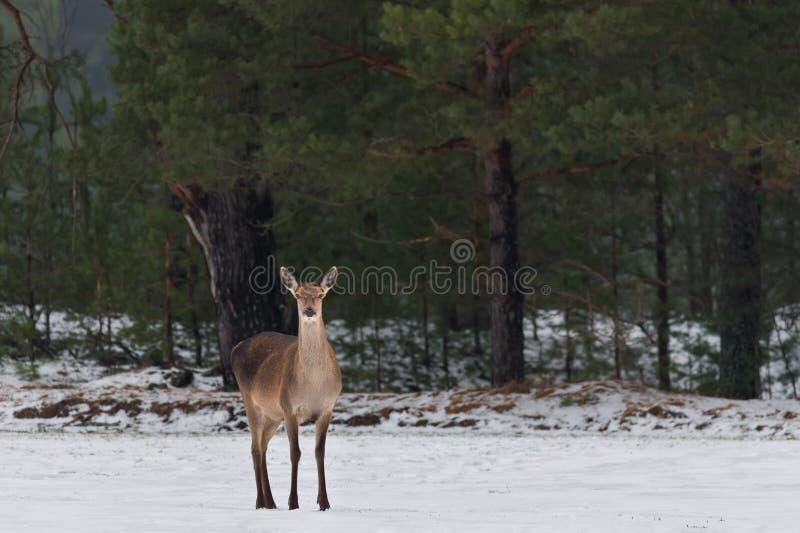 Enige Volwassen Vrouwelijke Rode Herten op Sneeuwgebied bij Pijnboom Forest Background Europees het Wildlandschap met Sneeuw en H stock fotografie