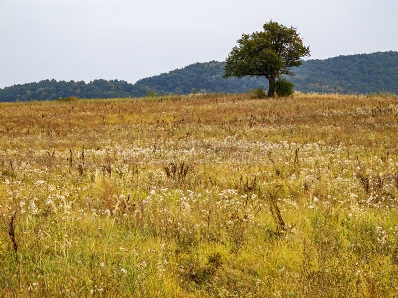 Enige wilde pruimboom op een de herfst onbeschaafd gebied stock foto