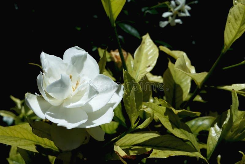 Enige witte bloei stock fotografie