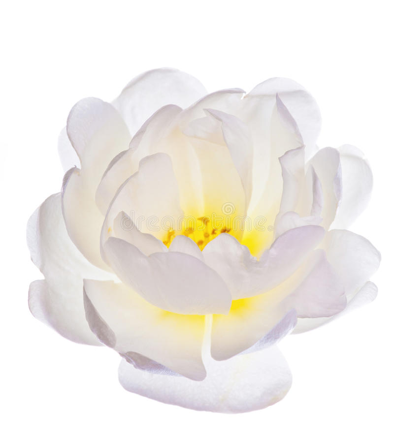 Enige witte meer brier bloem royalty-vrije stock fotografie