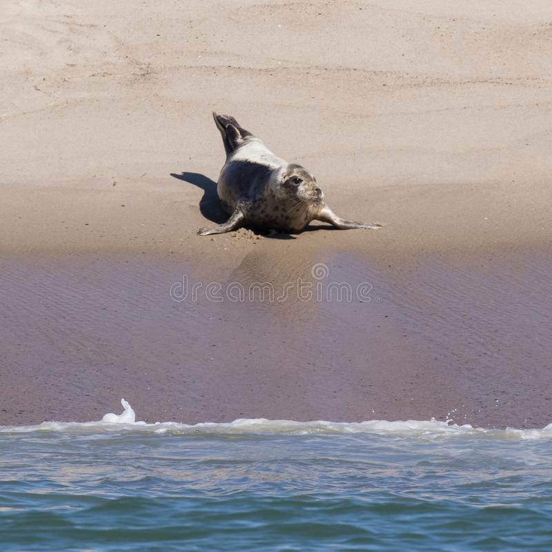Enige Zadelrob op het strand royalty-vrije stock fotografie