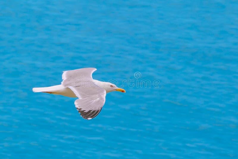 Enige zeemeeuw die over blauwe overzees als achtergrond vliegen Close-up, exemplaarruimte Zachte nadruk royalty-vrije stock foto's