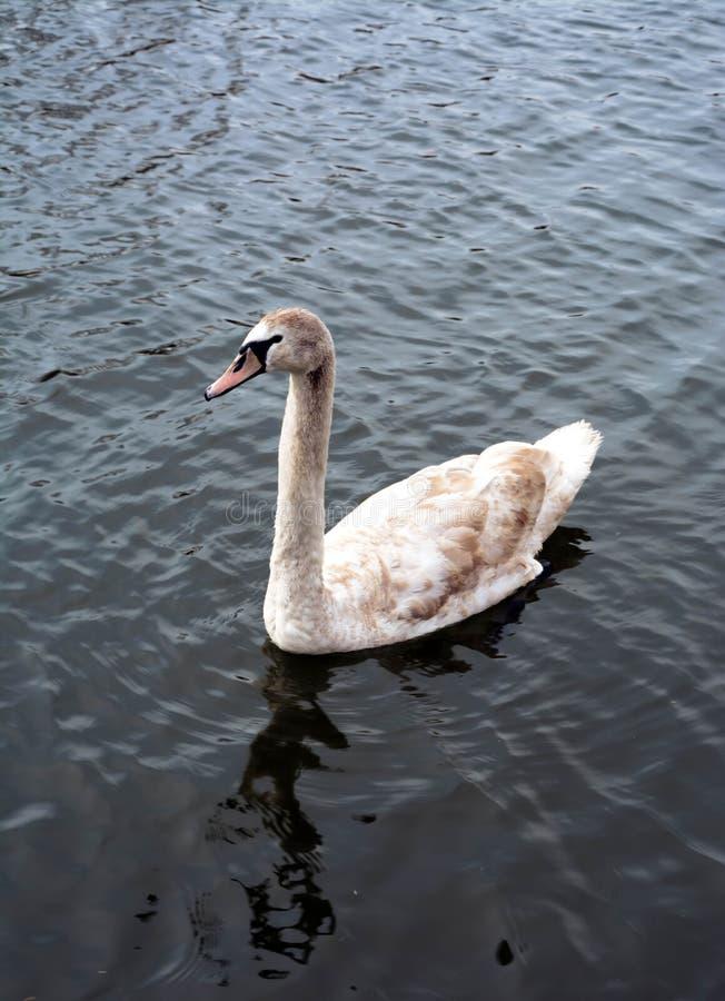 Enige zwaan die in de rivier zwemmen royalty-vrije stock afbeelding
