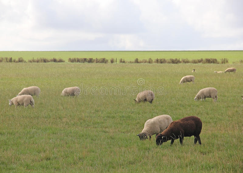 Enige Zwarte schapen die met Witte Schapen weiden stock afbeelding