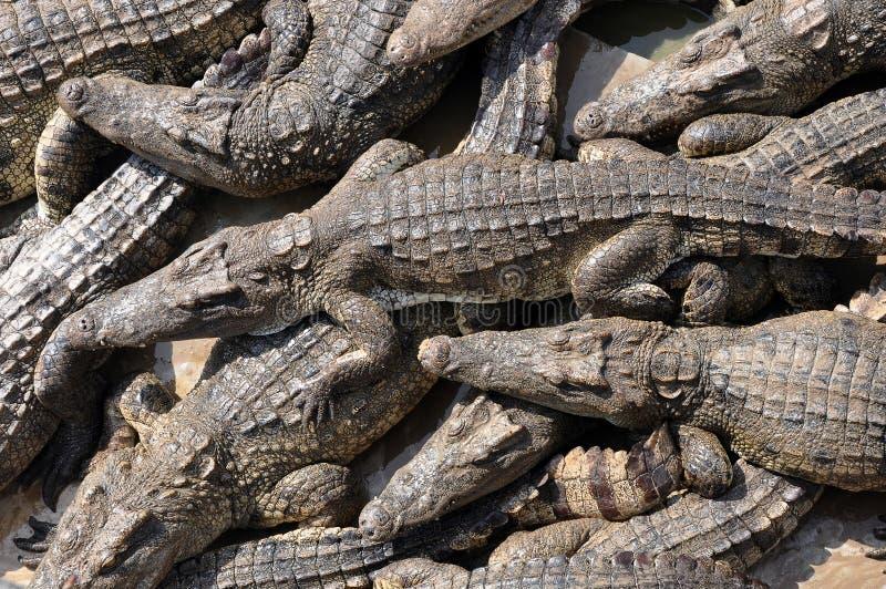 Enjambre de cocodrilos siameses foto de archivo