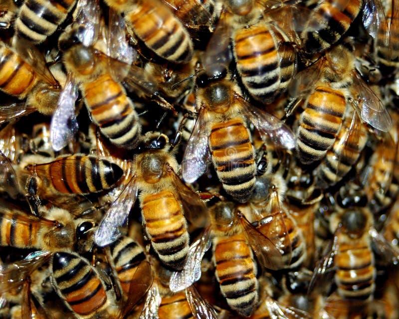 Enjambre de la abeja de la miel imagen de archivo libre de regalías