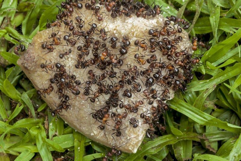 Enjambre de las hormigas que comen el hueso de perro de Dicarded foto de archivo