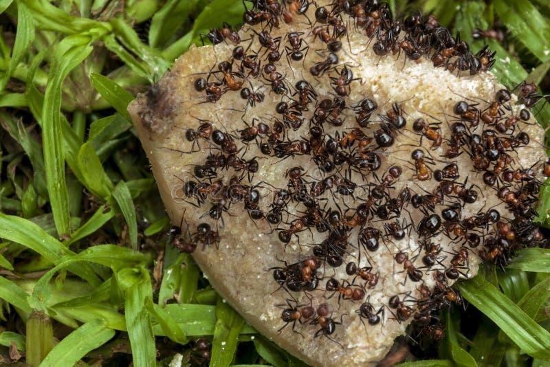 Enjambre de las hormigas que comen el hueso de perro de Dicarded imagen de archivo