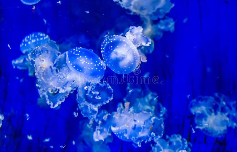 Enjambre de las medusas flotantes de la campana debajo del agua, especie tropical del Océano Pacífico, fondo de las medusas de la fotos de archivo