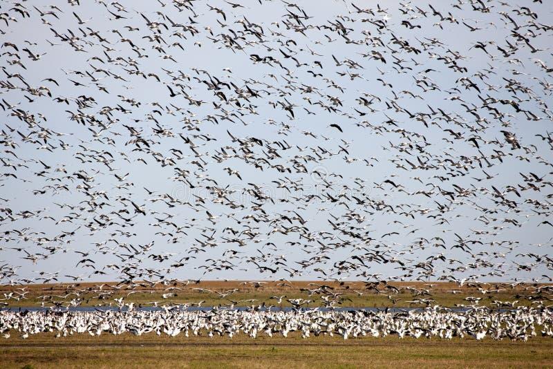 Enjambre de los gansos de nieve fotografía de archivo