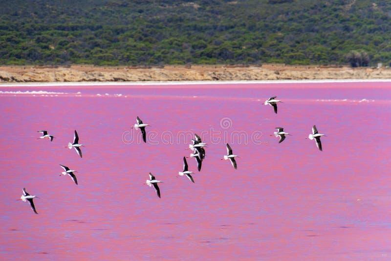 Enjambre de los pájaros negros del zanco del ala en el lago rosado en Australia occidental fotos de archivo libres de regalías