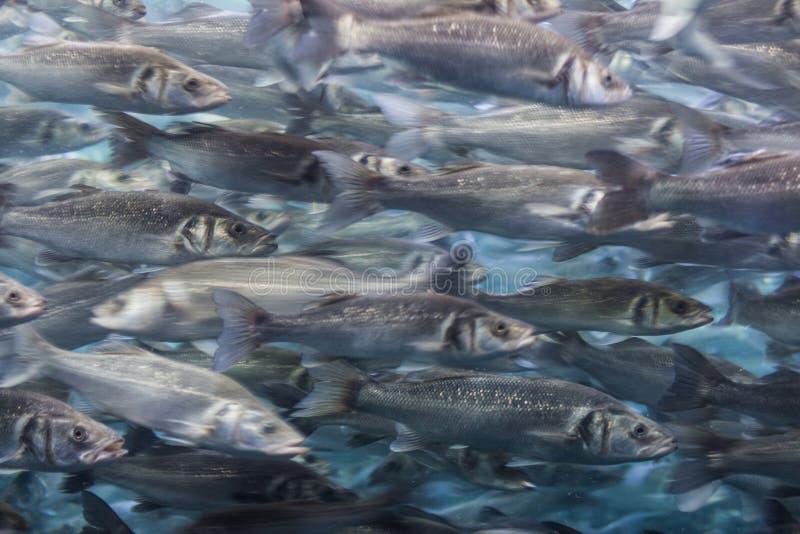 Enjambre de los pescados - muchos pescados que nadan fotografía de archivo libre de regalías
