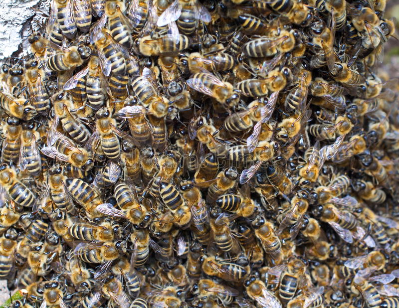 Enjambre grande de abejas imágenes de archivo libres de regalías