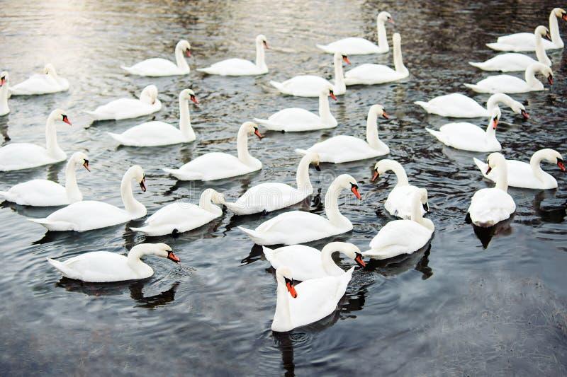 Enjambre grande de cisnes en el río imagen de archivo libre de regalías