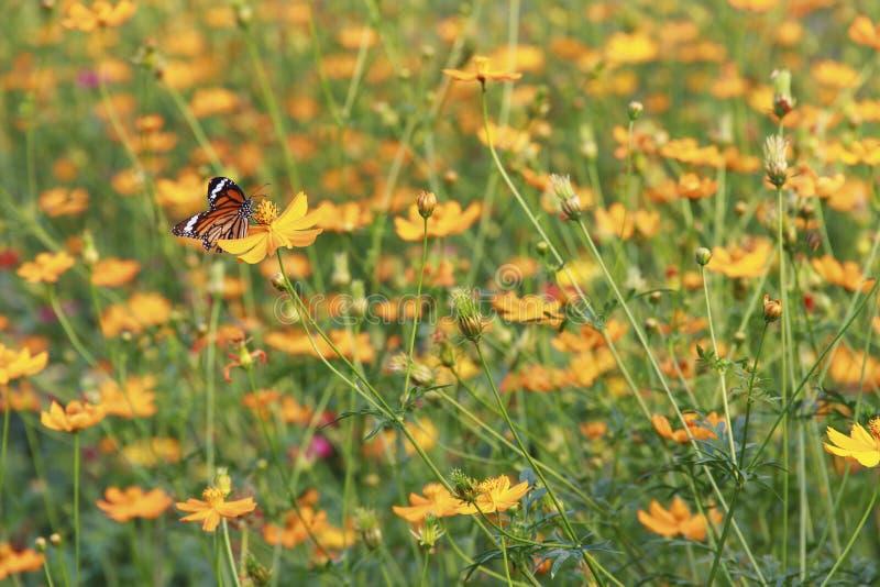 Enjambres de la mariposa en la flor amarilla del cosmos del azufre foto de archivo
