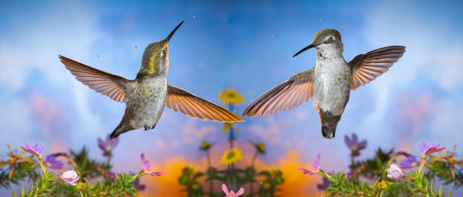 Enjoy dancing in some drizzle with eyes closed. Creative panorama of two hummingbirds who enjoy dancing in the rain with eyes closed royalty free stock photo
