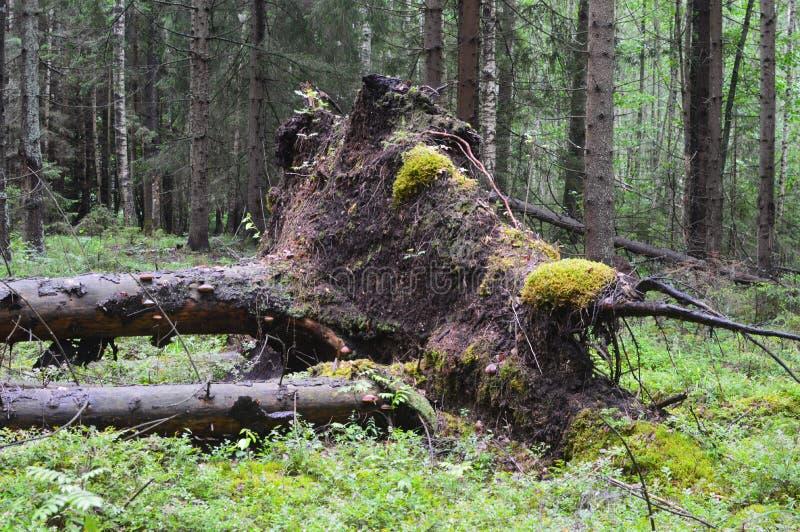 Windbreak, the tumbled-down and cut trees. stock photo