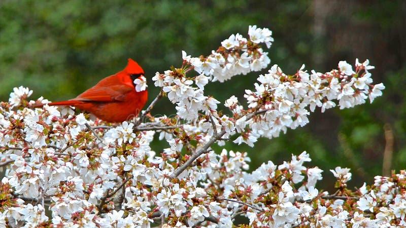 Enjoying Lunch cardinal images stock