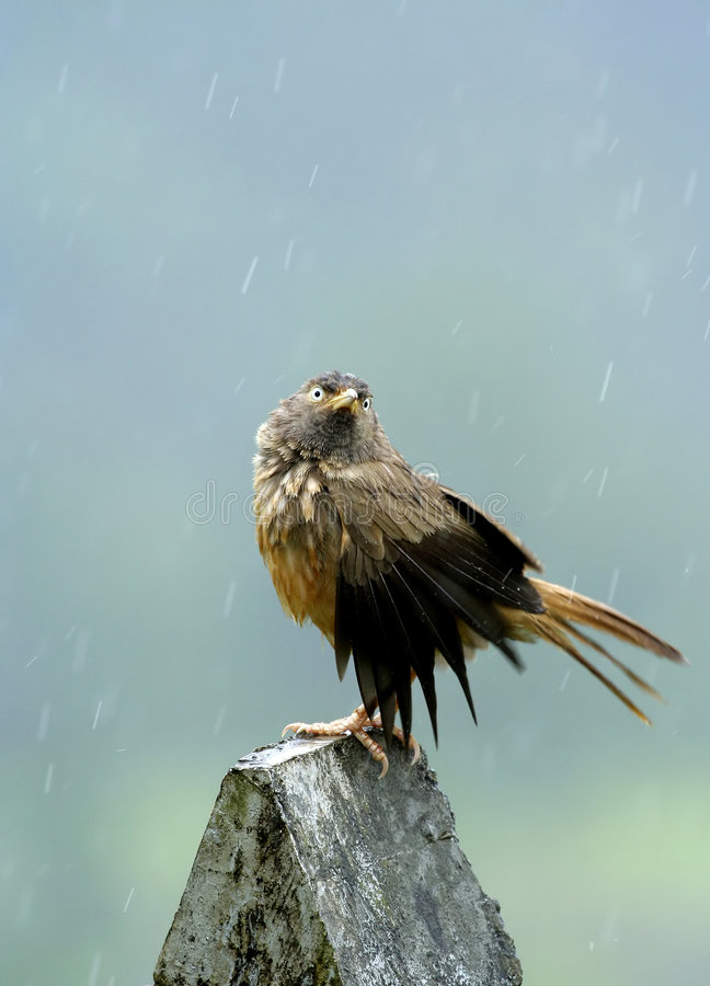 Enjoying the Rains. The looks and the mood is all that counts in a moment, this bird enjoyed this rain stock images