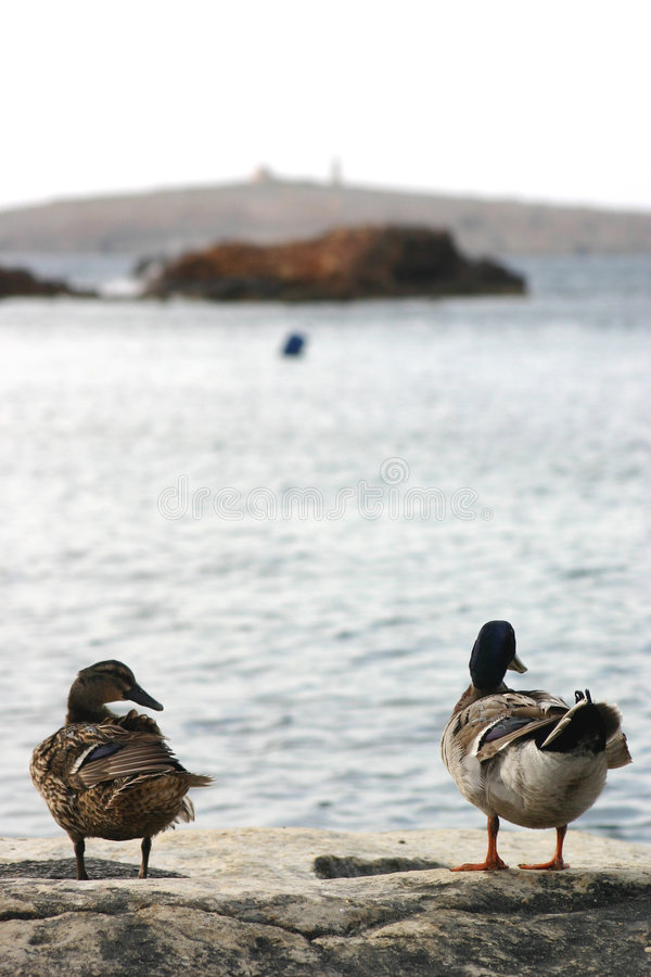 Download Enjoying the view stock photo. Image of beak, coast, duck - 126654