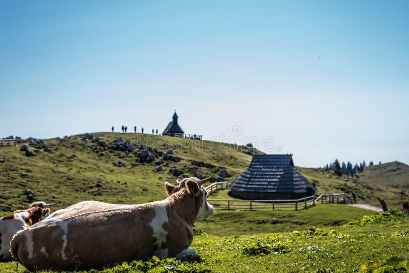 Enjoyng delle mucche la vista di erba verde e di hutts sul planina di velika immagine stock