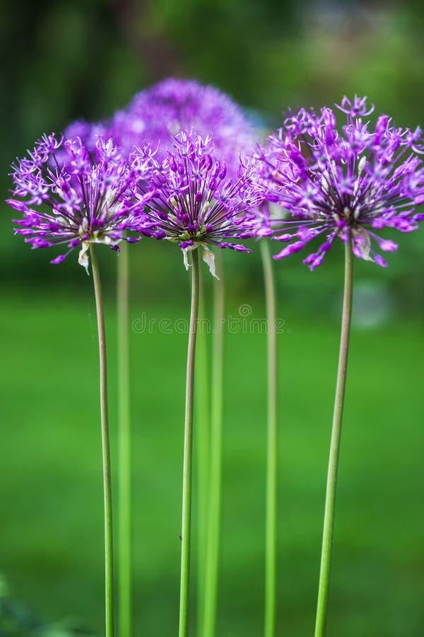 Enkel allium blommar med det ljusa violetta huvudet på en trädgårds- bakgrund royaltyfri fotografi