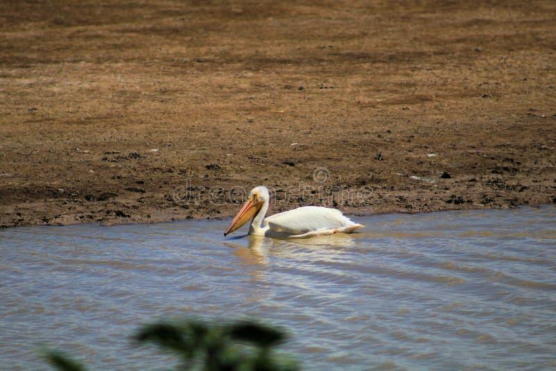 Enkel amerikansk vit pelikan arkivfoton