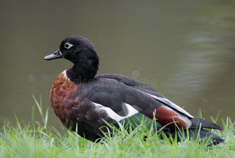 Enkel australierShelduck fågel på gräs- våtmarker i vårsäsong arkivbild