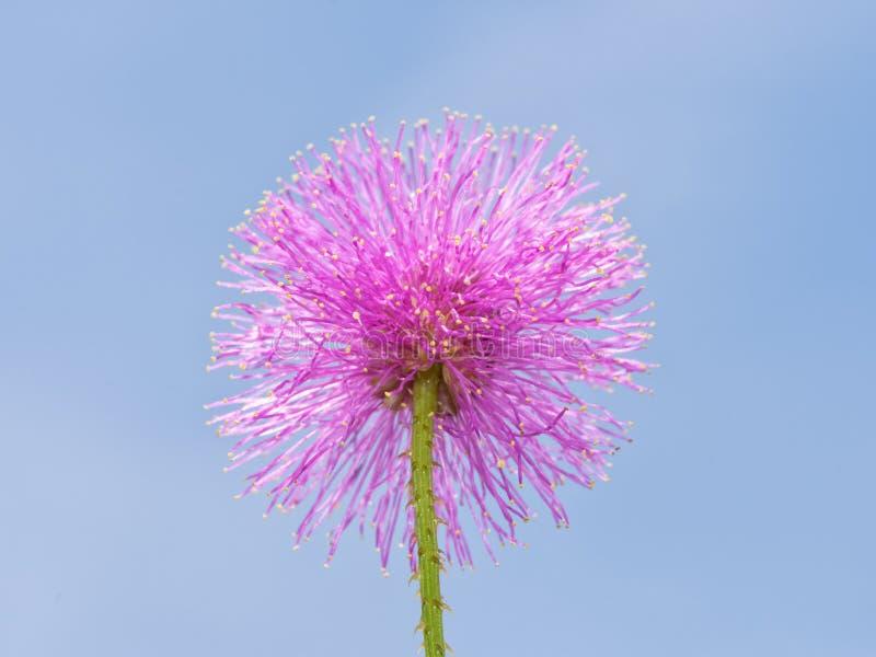 Enkel blom av den rosa mimosanuttalliien eller Nuttalls känsliga Briar, fotografering för bildbyråer