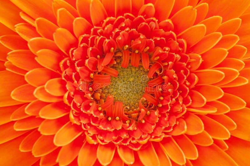 Enkel blomma av den orange gerberamakroen arkivbild