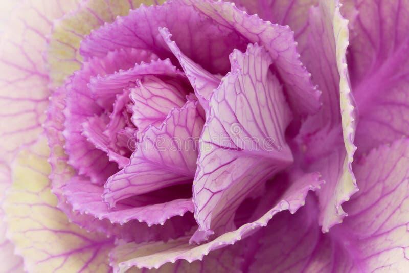 Enkel blomma av den violetta brassicaoleraceaen - nära övre royaltyfri fotografi