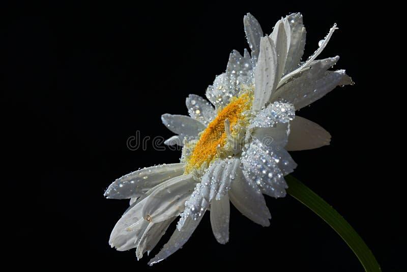 Enkel blomma av prästkrageleucanthemumen Vulgare med droppar av vatten på vita kronblad, svart bakgrund royaltyfria bilder