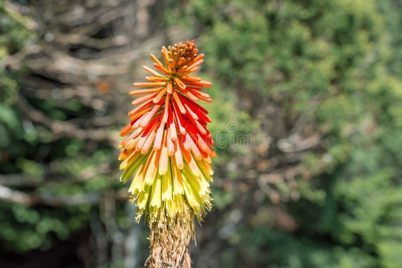 Enkel blomma för Kniphofiafacklalilja i solljuset fotografering för bildbyråer