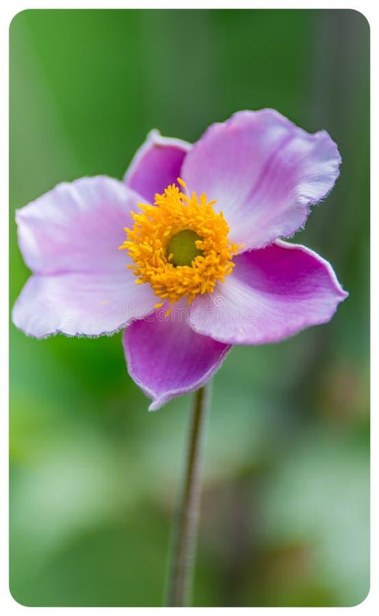 Enkel blomma i japansk anemon för sommar på grön bakgrundsnärbild royaltyfri foto