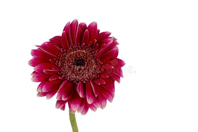 Enkel blomma på en vit bakgrund royaltyfri fotografi