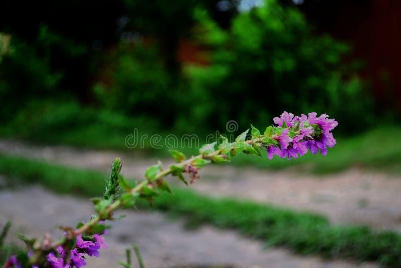 enkel blomma Blomma som blommar i tr?dg?rden fotografering för bildbyråer