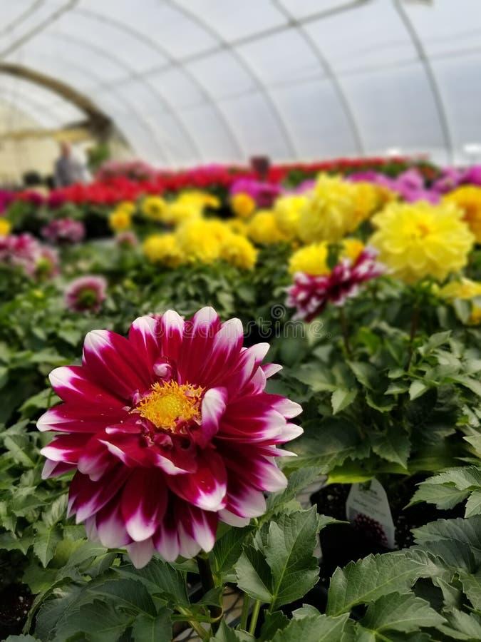 Enkel blomma som blommar med hj?lp fr?n solen royaltyfria foton